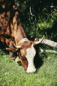 Colpo verticale del primo piano di una mucca marrone che pasce sull'erba