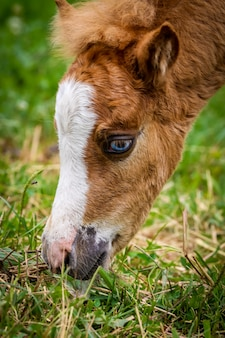 Vertical closeup shot of a brown and white foal grazing on a grass covered field