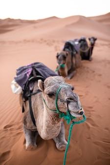 Colpo verticale del primo piano di un cammello seduto sulla sabbia in un deserto