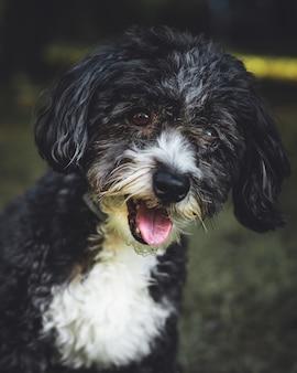 Colpo verticale del primo piano di un cane yorkipoo bianco e nero carino con la bocca aperta