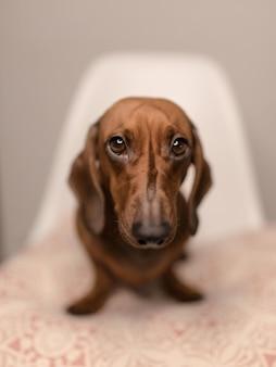 Vertical closeup shot of a cute brown dachshund