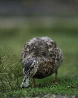 Vertical closeup shot of a cute duck on the green grass
