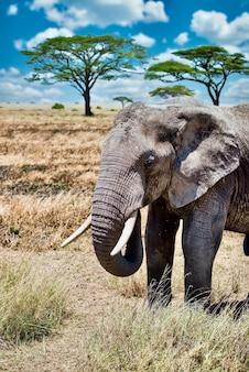 Colpo verticale del primo piano di un elefante sveglio che cammina sull'erba secca nel deserto