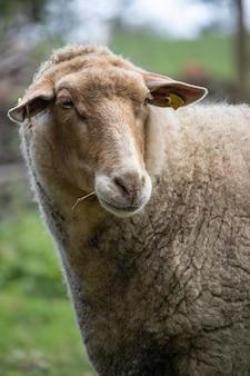 Vertical closeup shot of a cute fluffy sheep in a field
