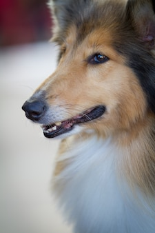 Vertical closeup shot of a cute furry dog with long hair with its mouth open
