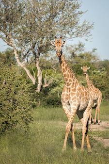 Colpo verticale del primo piano di giraffe carine che camminano tra gli alberi verdi nel deserto