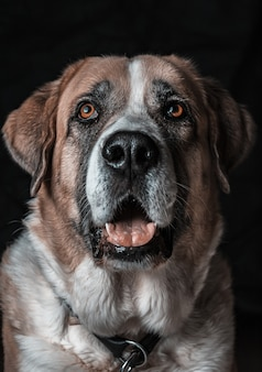 Colpo verticale del primo piano di un simpatico cane di san bernardo che sbadiglia con un muro nero