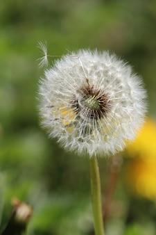 Vertical closeup shot of a dandelion