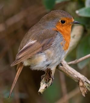 Vertical closeup shot of a european robin on a branch