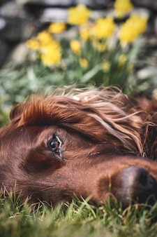 Vertical closeup shot of an irish setter laying on the grass with yellow flowers on the