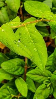 Vertical closeup shot of lush fresh leaves with raindrops after an afternoon rain