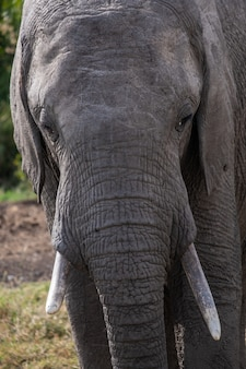 Vertical closeup shot of a magnificent elephant in the wildlife captured in ol pejeta, kenya