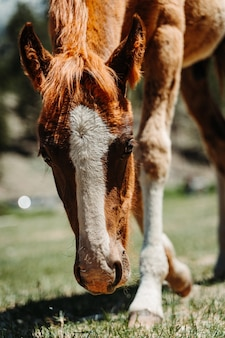 草をはむ美しい茶色の馬の垂直のクローズアップショット
