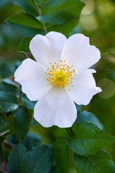 아름 다운 흰 야생 장미의 수직 근접 촬영 샷
