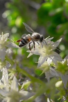 낮 동안 흰 꽃에 앉아 꿀벌의 수직 근접 촬영