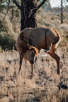 フィールドでかわいい鹿の垂直のクローズアップショット