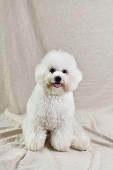 베이지 색 섬유에 귀여운 흰색 푸들 강아지의 수직 근접 촬영 샷
