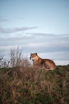 暗い曇り空の下の谷で横になっている雌のライオンの垂直のクローズアップショット