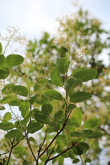 Вертикальный снимок красивых цветов cotinus coggygria крупным планом