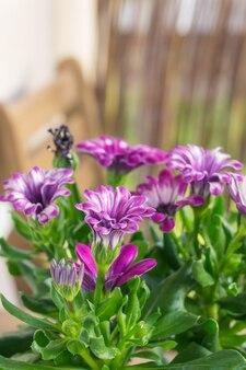 美しいピンクのアフリカのデイジーの花の垂直クローズアップショット