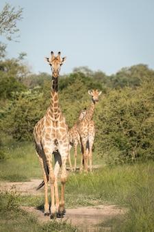 Вертикальный снимок милых жирафов, гуляющих среди зеленых деревьев в пустыне крупным планом