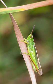 Вертикальный снимок зеленого кузнечика на сушеном листе крупным планом