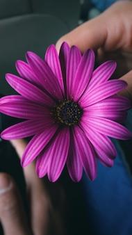 Vertical closeup shot of a purple african daisy in a man's hand