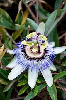Colpo verticale del primo piano di una passiflora viola