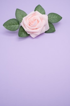 Vertical closeup shot of a single pink rose isolated on a purple background with copy space