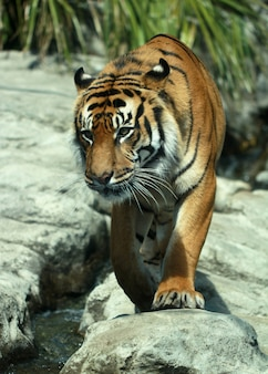Vertical closeup shot of a tiger on the rocks at the auckland zoo