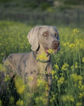 Primo piano verticale di un cane weimaraner in piedi nel campo