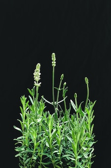 Vertical closeup shot of white lavender flowers isolated on a black