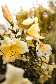 Vertical closeup shot of yellow lilies growing on the bush