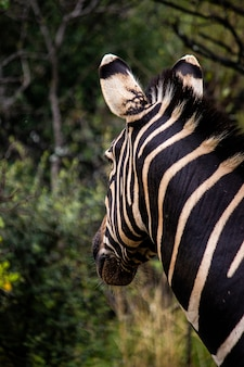 Vertical closeup shot of a zebra looking for food in a forest