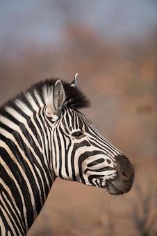 Vertical closeup shot of a zebra