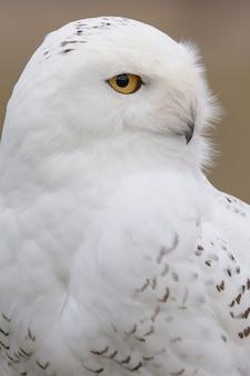 Vertical closeup of a snowy owl under the sunlight
