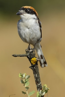 Vertical closeup of a woodchat shrike standing on a tree branch under the sunlight at daytime