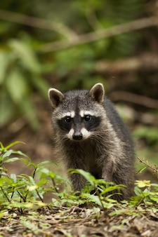 Vertical composition of a young raccoon walking on the ground in a jungle
