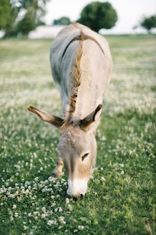 Vertical front view of a light brown donkey eating grass