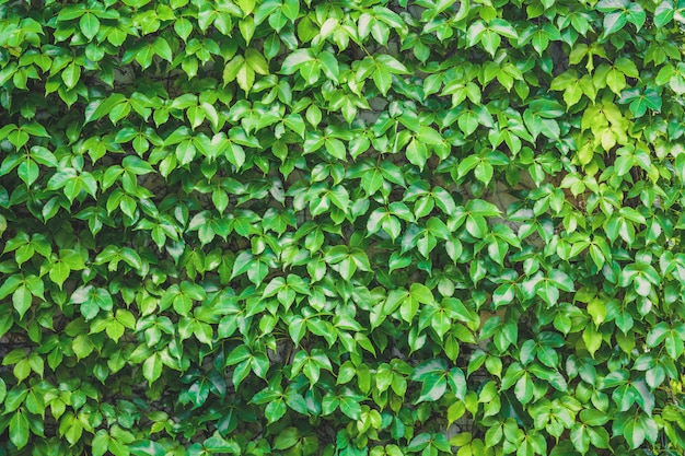 Vertical garden, green leaves wall texture background, climbing plant on the stone wall