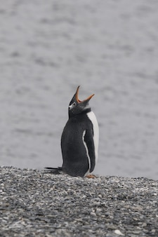 Vertical of a gentoo penguin yawning while standing on the stony shore of the ocean