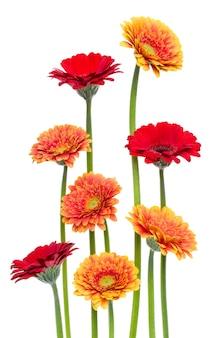 白で隔離される長い茎を持つ垂直ガーベラの花。