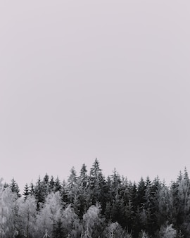 Vertical grey scale shot of beautiful pine trees covered in snow