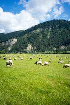 Vertical of a herd of sheep eating grass at the pasture surrounded by tall mountains