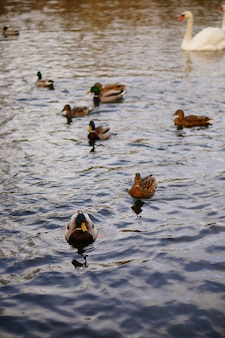 Vertical high angle shot of the cute ducks swimming in the lake