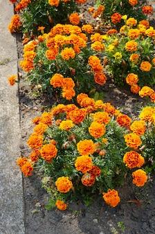 Вертикальный снимок оранжевых цветов мексиканских бархатцев в кустах возле улицы под высоким углом