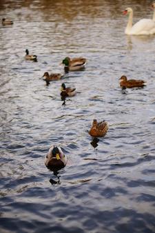 湖で泳いでいるかわいいアヒルの垂直ハイアングルショット