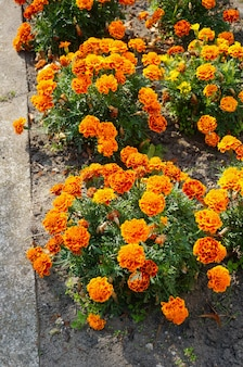 Vertical high angle shot of orange mexican marigold flowers in bushes near a street