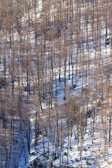 Colpo verticale dell'angolo alto degli alberi nudi alti del medvednica a zagabria, croazia in inverno