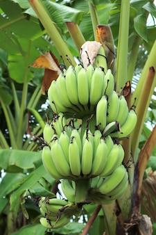 시골에서 설익은 과일의 무리와 함께 열 대 바나나 나무의 수직 이미지